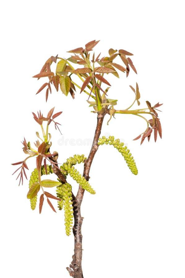 el joven se va en la rama de una nuez del árbol imagen de archivo libre de regalías