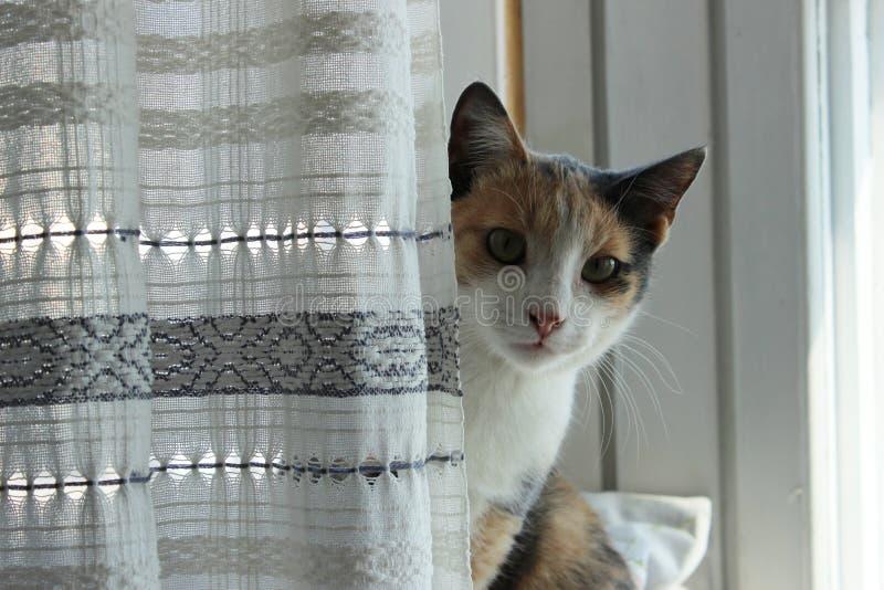 El joven tricolor del hogar del gato se está sentando en un alféizar y mira derecho de detrás la cortina fotos de archivo