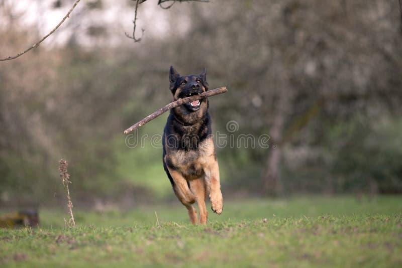 El juego del perro de pastor alemán y trae detrás la rama imágenes de archivo libres de regalías