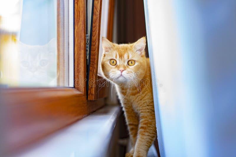 El jugar amarillo del gato se divierte fotos de archivo libres de regalías