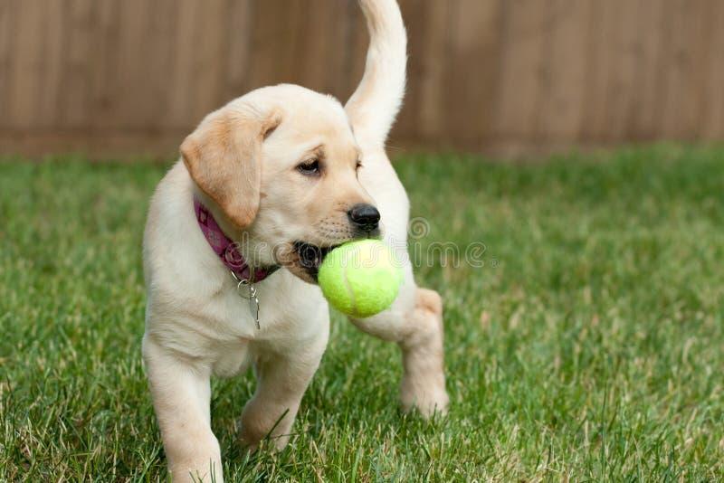 El jugar amarillo del perrito del laboratorio imagen de archivo libre de regalías
