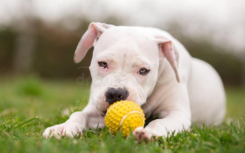 El jugar blanco del perrito del terrier de Staffordshire americano fotografía de archivo libre de regalías