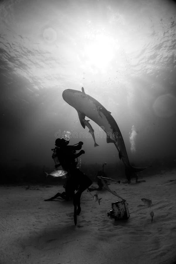 El jugar con el tiburón Bahamas del iger imágenes de archivo libres de regalías