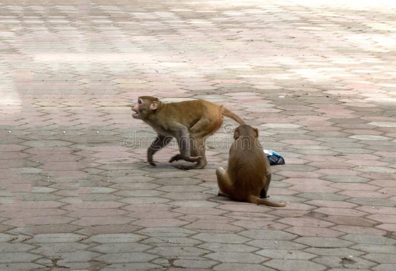 El jugar dañoso de los monos imagen de archivo libre de regalías