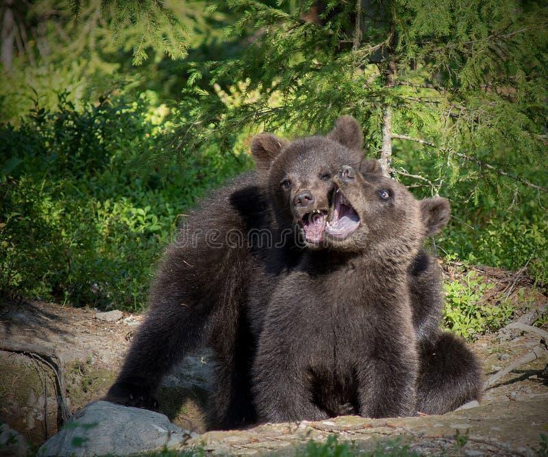 El jugar de Cubs de oso de Brown del eurasiático imagen de archivo