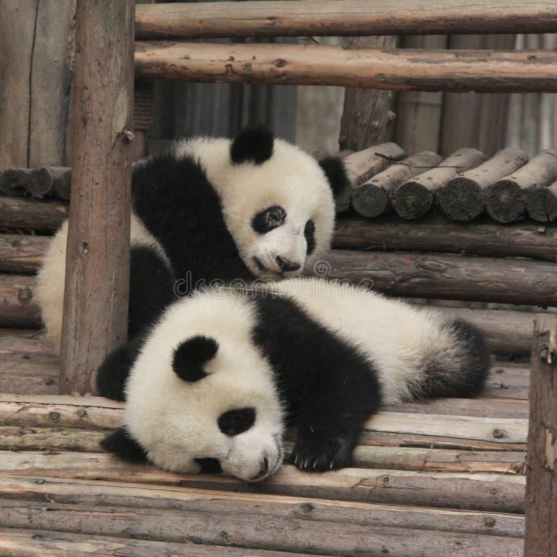 El jugar de dos cachorros de la panda gigante fotografía de archivo