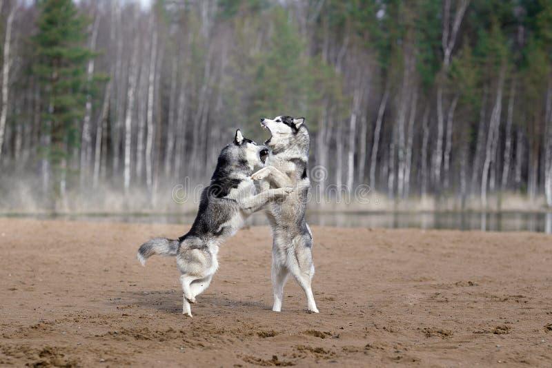 El jugar de dos huskyes siberianos fotografía de archivo libre de regalías