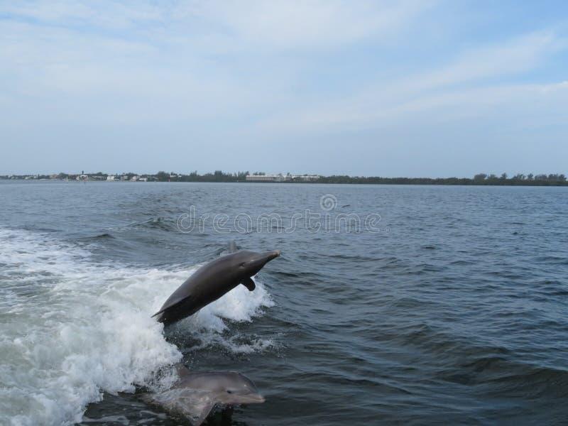 El jugar de dos de la botella delfínes de la nariz fotos de archivo