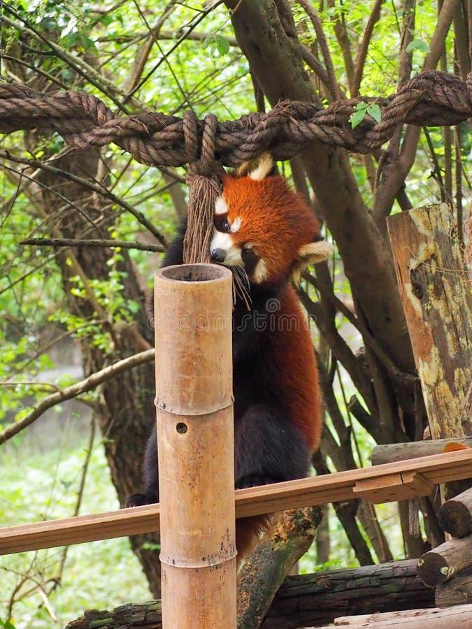 El jugar de la panda roja imagen de archivo libre de regalías