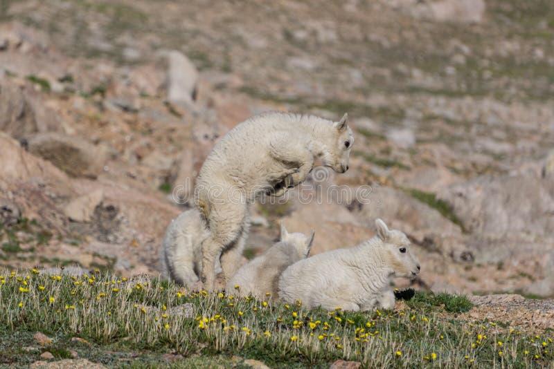El jugar de las cabras de montaña imagenes de archivo