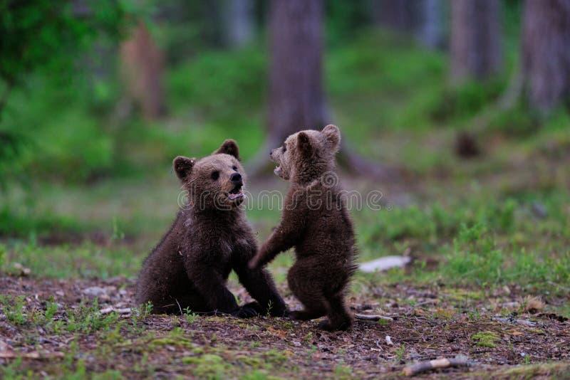 El jugar de los cachorros de oso de Brown foto de archivo