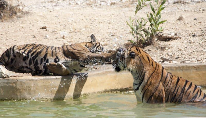 El jugar de los cachorros de tigre fotografía de archivo