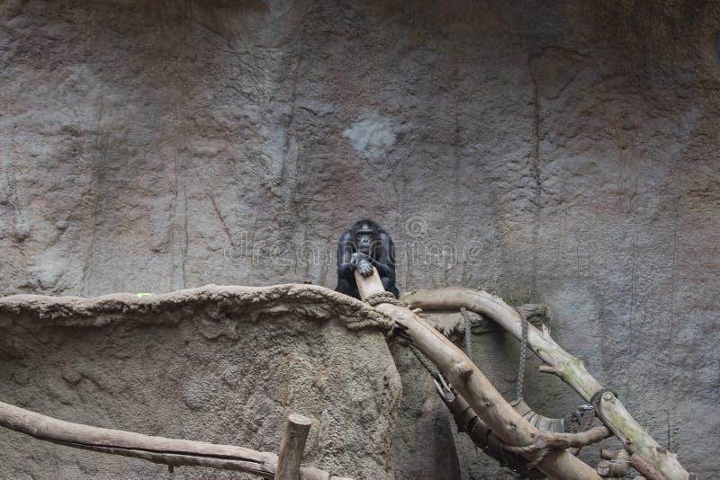El jugar de los chimpancés enanos fotos de archivo libres de regalías