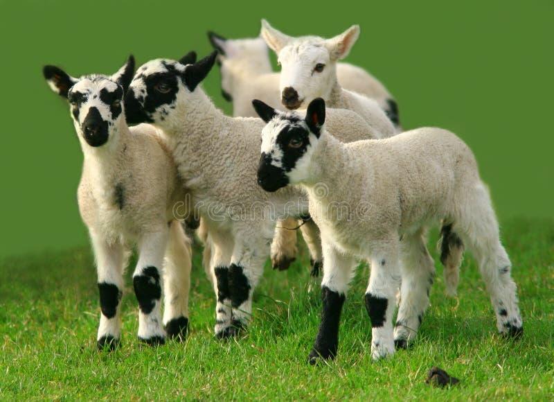El jugar de los corderos imagenes de archivo