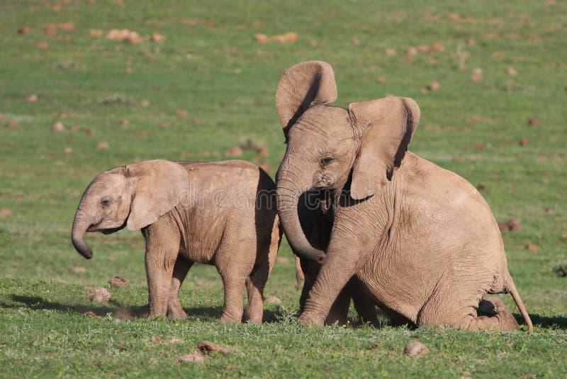 El jugar de los elefantes del bebé foto de archivo libre de regalías
