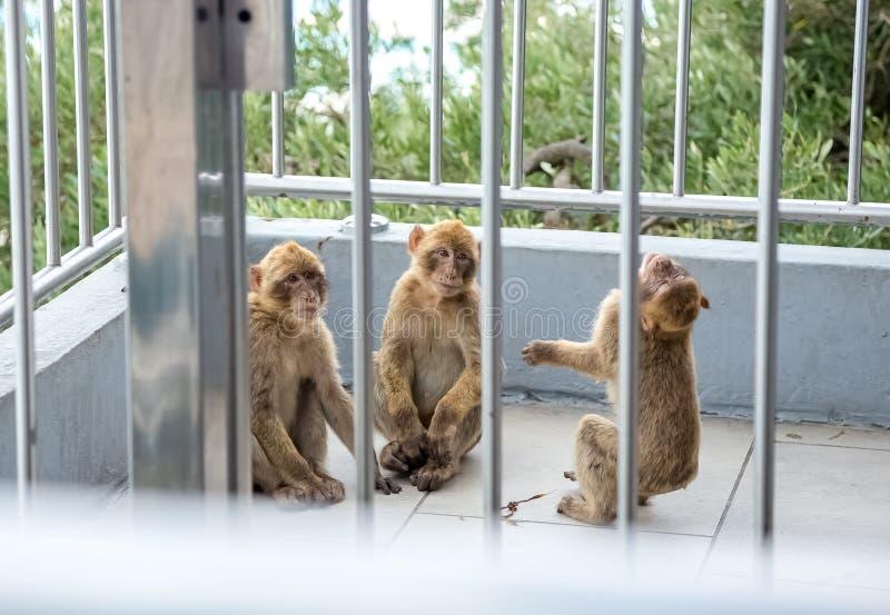 El jugar de los monos imagen de archivo
