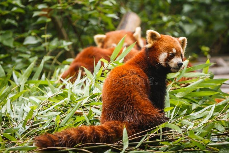 El jugar de los osos de panda roja imagen de archivo libre de regalías