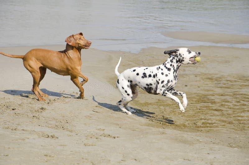 El jugar de los perros imagen de archivo