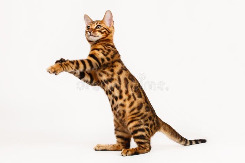 El jugar del gato de Bengala fotos de archivo