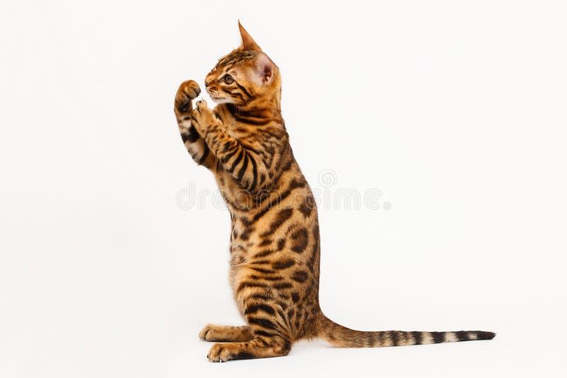 El jugar del gato de Bengala fotografía de archivo