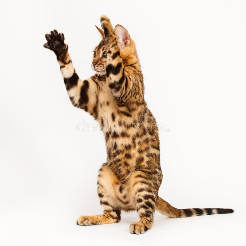 El jugar del gato de Bengala imagen de archivo libre de regalías
