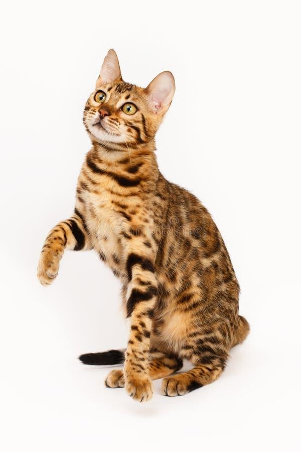 El jugar del gato de Bengala foto de archivo libre de regalías