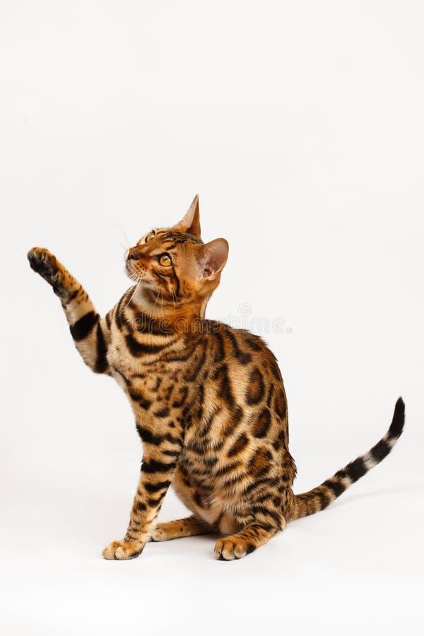 El jugar del gato de Bengala imágenes de archivo libres de regalías