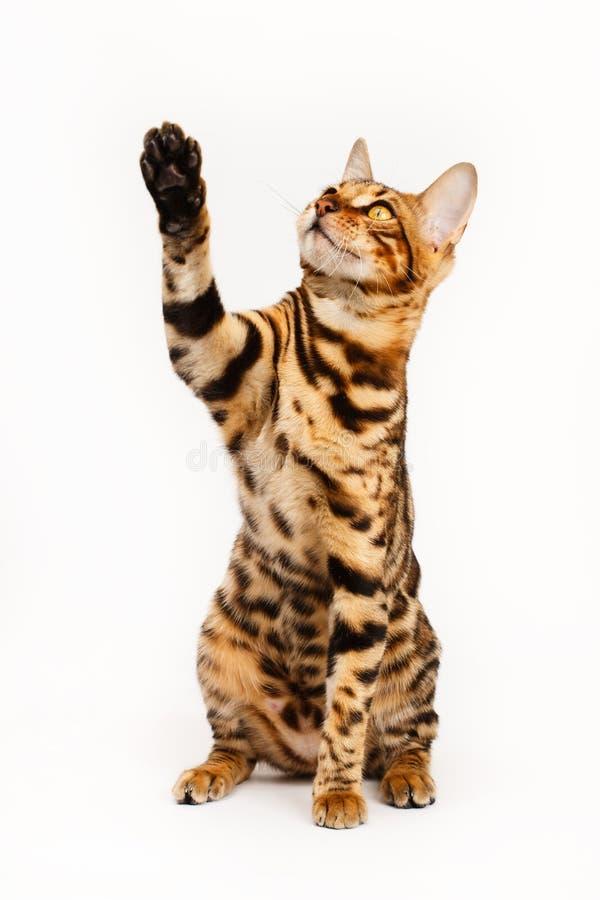 El jugar del gato de Bengala imagen de archivo