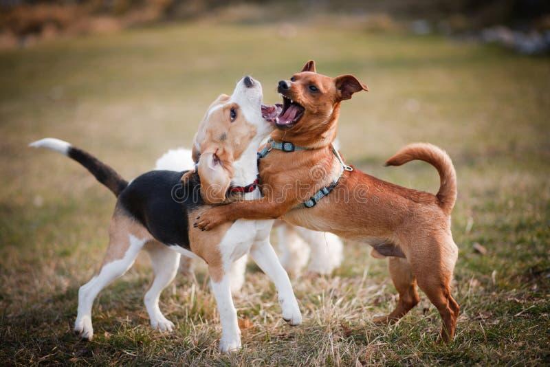 El jugar del perrito del beagle fotografía de archivo libre de regalías