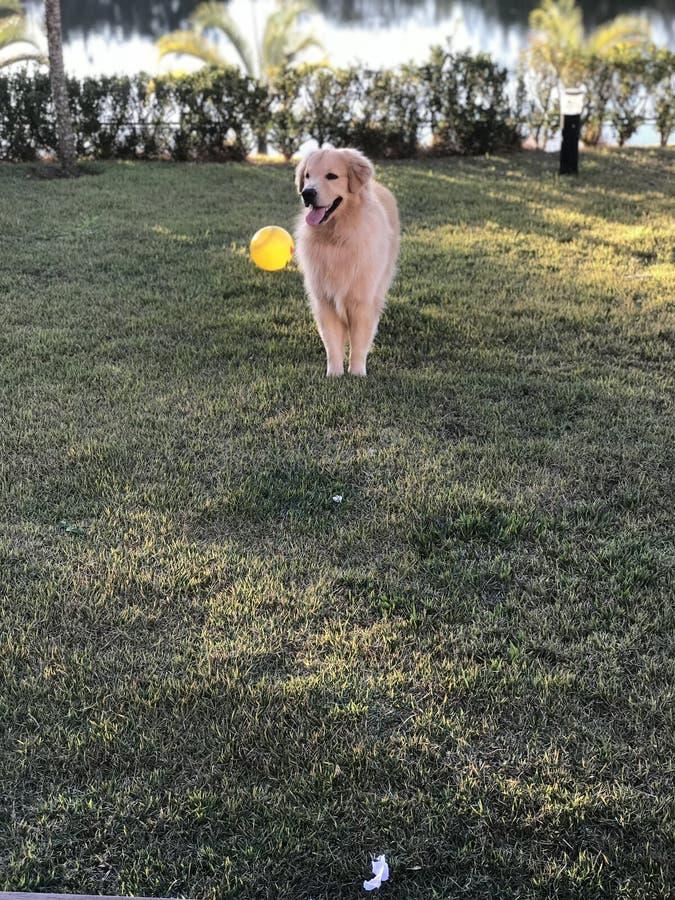 El jugar del perro perdiguero de oro imagen de archivo