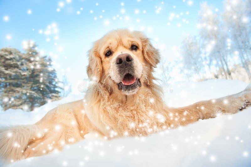 El jugar encantador del perro perdiguero de oro imagenes de archivo