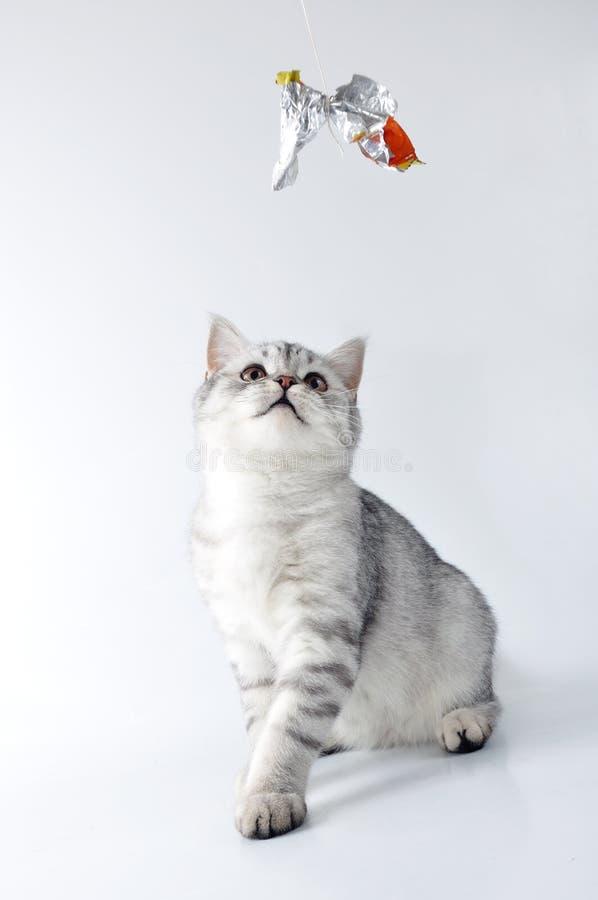 El jugar escocés de plata del gatito del tabby del blanco gris fotografía de archivo