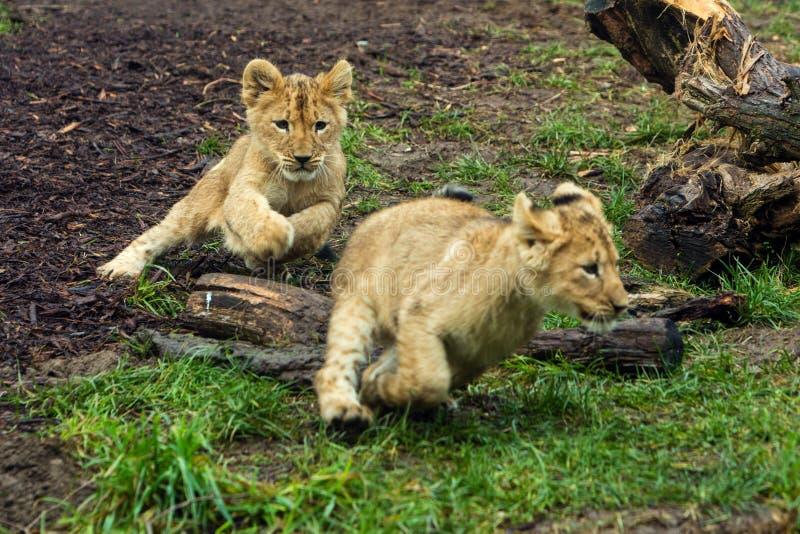 El jugar joven de dos cachorros de león foto de archivo