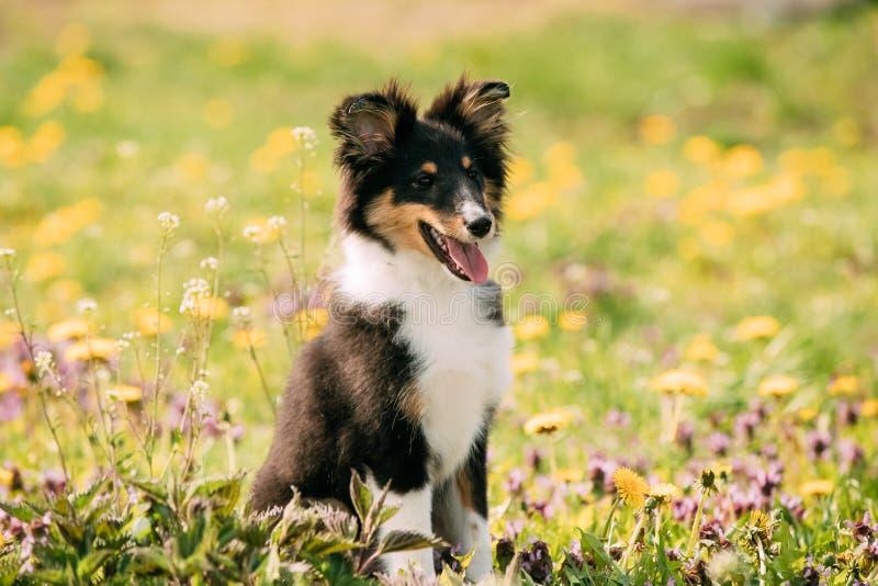 El jugar sonriente feliz joven del perrito de Sheltie del perro pastor de Shetland al aire libre imagen de archivo