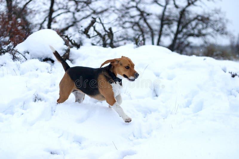 El jugar y funcionamiento del perro del beagle en la nieve imagen de archivo libre de regalías