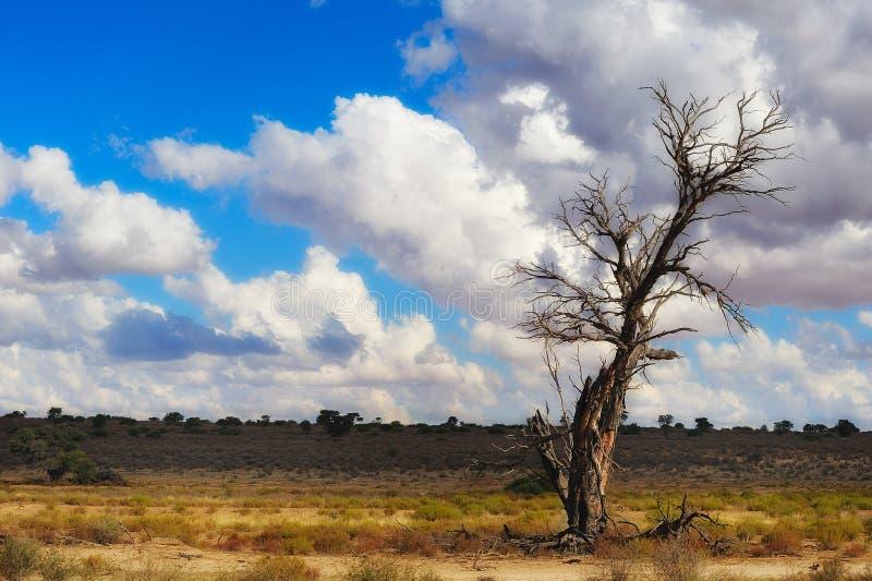 El Kalahari (Botswana) fotos de archivo