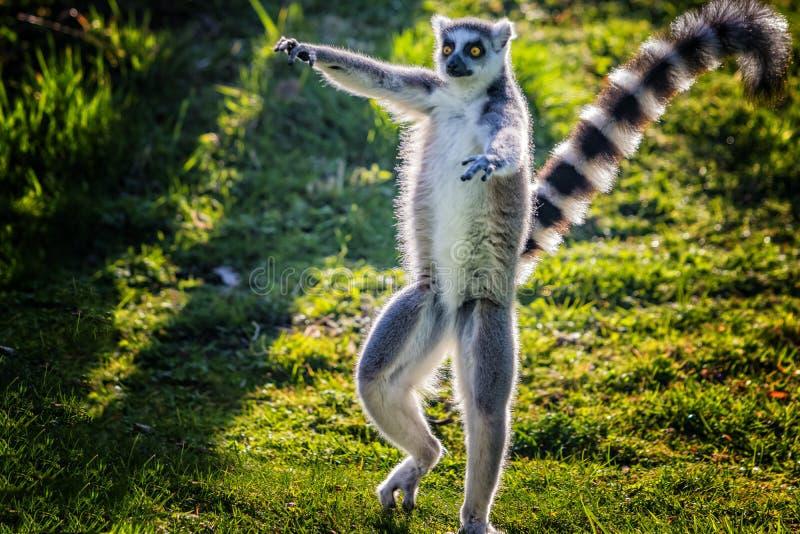 el lémur Anillo-atado está bailando en hierba verde Él juega y se realiza Como todos los lémures es endémico a la isla de Madagas fotos de archivo libres de regalías