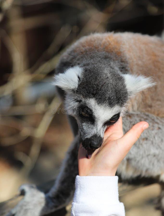 El lémur atado anillo lame la mano de un niño fotos de archivo