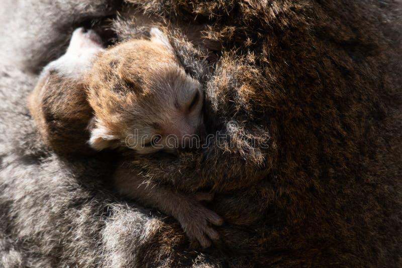 El lémur coronado hermana nacido en Bristol Zoo, Reino Unido fotos de archivo