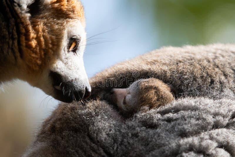 El lémur coronado hermana nacido en Bristol Zoo, Reino Unido fotos de archivo libres de regalías