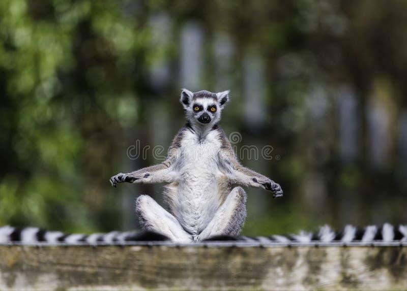 El lémur le acoge con satisfacción fotos de archivo
