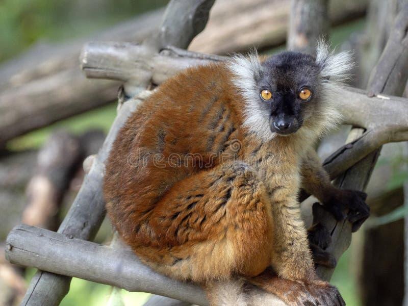 El lémur negro femenino, macaco de Eulemur, en el árbol foto de archivo libre de regalías