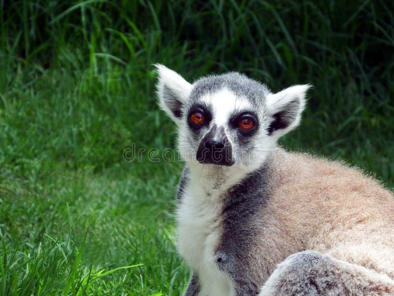 el lémur Triste-observado se aflige sin sociedad fotografía de archivo