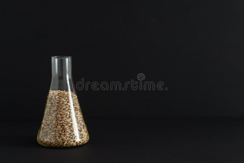 El laboratorio para los productos alimenticios análisis, semillas de la cebada en un vidrio químico se toma para una prueba en la imágenes de archivo libres de regalías