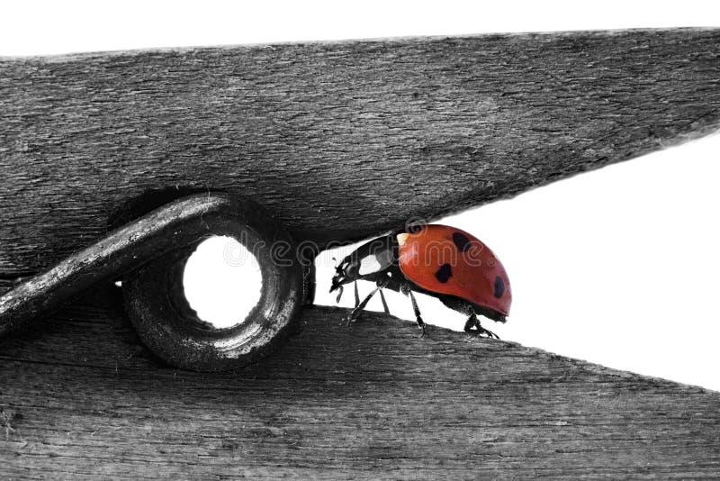 El Ladybug encendido wodden la ropa-clavija fotos de archivo libres de regalías