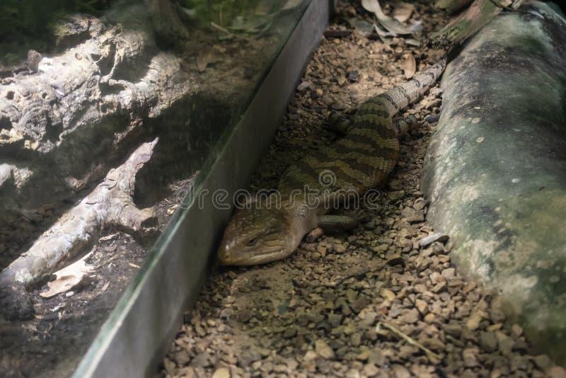 El lagarto azul-machihembrado del este ( Scincoides de los scincoides de Tiliqua foto de archivo libre de regalías
