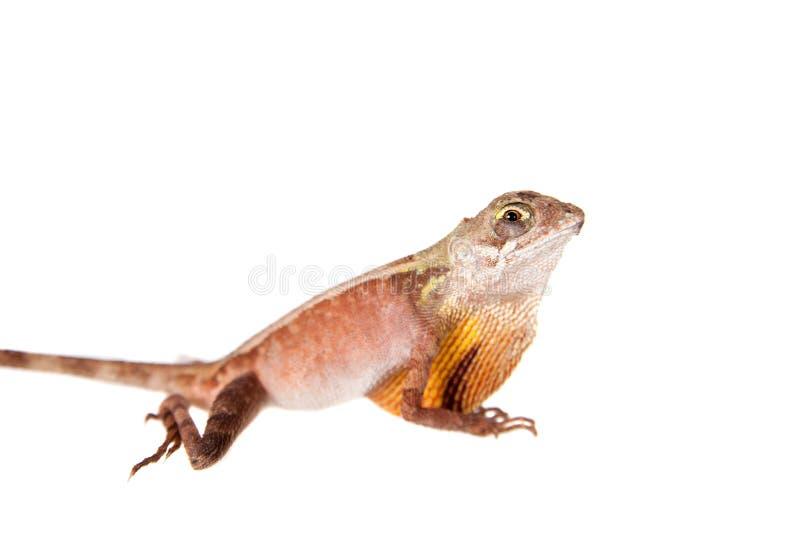 El lagarto Brown-remendado del canguro en blanco imagen de archivo