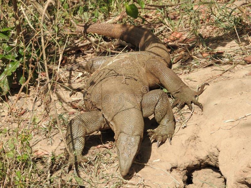 El lagarto camina en su hábitat natural en el parque nacional de Sri Lanka fotos de archivo