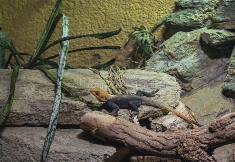 El lagarto común del Agama imagen de archivo