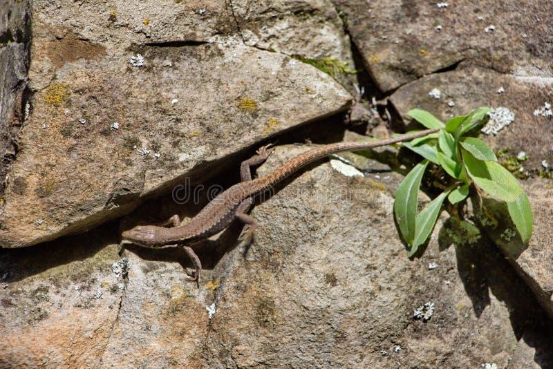 El lagarto es ágil en el d3ia fotografía de archivo libre de regalías